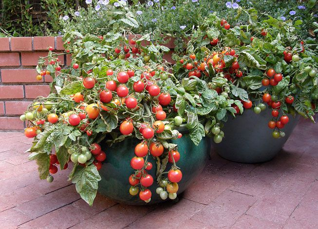 Container Garden Cherry Tomatoes