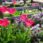 Tulips and perennials